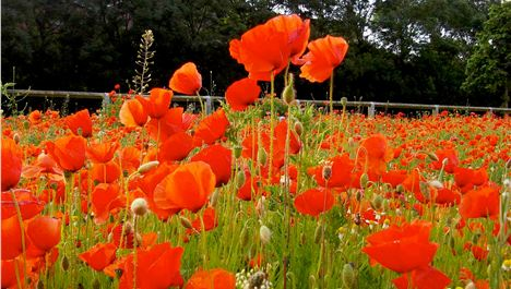 The poppies are in the field...