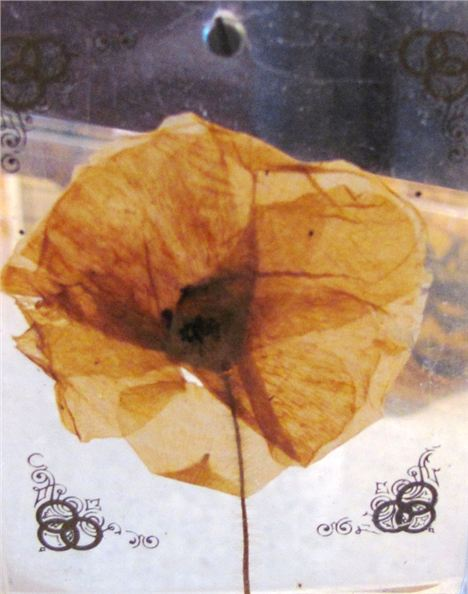 Faded Poppy From The Battle Of The Somme